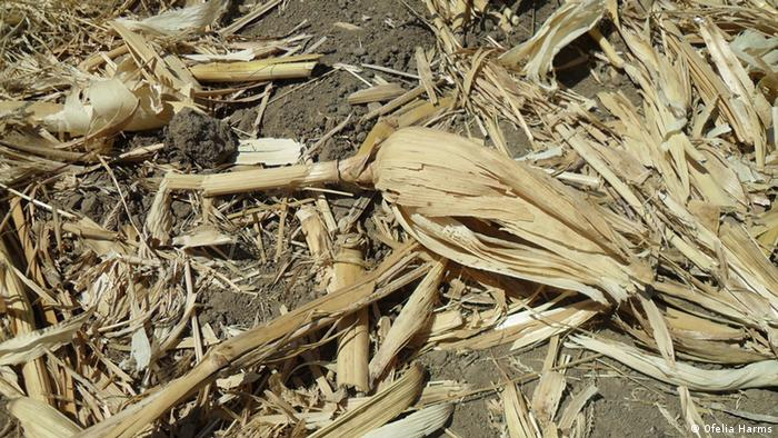 Dry maize in Mexico (Photo: Ofelia Harms)