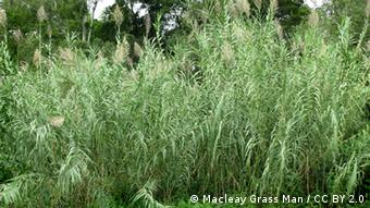 A field of giant reed