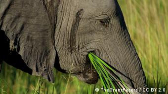 African elephant eating