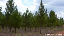 Fotos: Pinheiros01, Pinheiros02 e Pinheiros03 Titel: Kiefer in Mosambik Schlagworte: Niassa, Nord-Mosambik, Nordwest-Mosambik, Ort: Niassa, Mosambik Fotograf: Glória Sousa (DW) Datum: 28.11.2012 Beschreibung: Internationale Forst-Unternehmen investieren in Mosambik