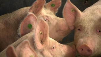 A picture of pigs