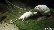 Maus versucht Artgenossin vor einer Viper zu retten