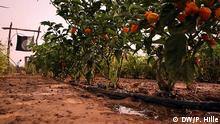 Brukina-Faso-Tröpfchenbewässerung Paprika bei Ouagadougou Burkina Faso möchte zum Agrar-Exporteur aufsteigen. Seit den 1990er Jahren konnte Burkina Faso seine landwirtschaftliche Produktion verdoppeln. Vor allem durch verbesserte Bewässerungsmethoden ist weiteres Wachstum möglich, sagen Experten. Entscheidend ist zudem der Zugang zu Märkten. Ein Ansatz: Bauern vermarkten ihre Produkte gemeinsam in Genossenschaften und können so bessere Preise erzielen. DW/ Peter Hille