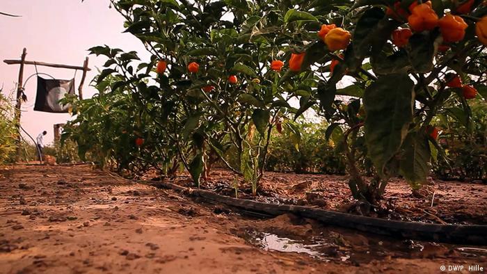 Tröpfchenbewässerung von Paprika-Pflanzen bei Ouagadougou, Burkina Faso (Foto: DW/Peter Hille)