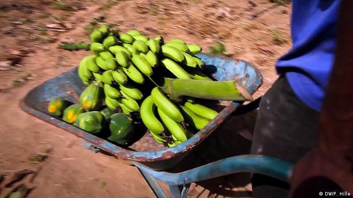 Bananen-Ernte in Ouagadougou, Burkina Faso (Foto: DW/ Peter Hille)