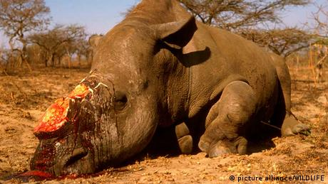 A rhino killed by poachers in Africa Photo: picture alliance/WILDLIFE