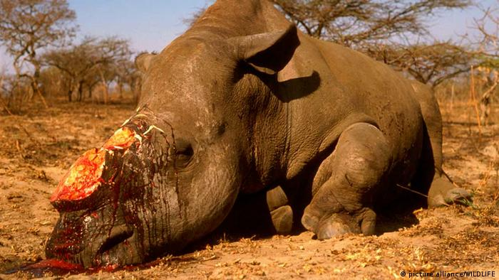 A white rhino was killed by poachers for its horn.