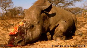 Square -lipped rhinoceros or White Rhino (Ceratotherium simum)killed by poachers for its horn. (Photo: picture alliance/ WILDLIFE)