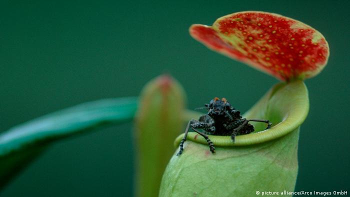 Kannenpflanze Nepenthes mit Insekt