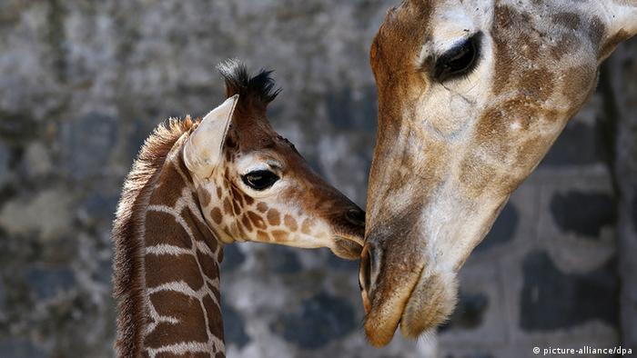 Three-week-old giraffe and its mother at a South American zoo Coypright: EFE/Felipe Trueba