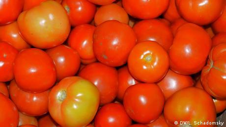 Bio-Tomaten aus Uganda (Foto: DW/Ludger Schadomsky)