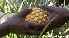Vor allem Deutschland importiert die zuckersüßen Bio-Ananas aus Uganda. Bei der Biomesse Biofach in Nürnberg waren im Februar allein 13 Vertreter aus Uganda in Deutschland. Copyright: DW/Ludger Schadomsky 07.03.2013, Kampala, Uganda