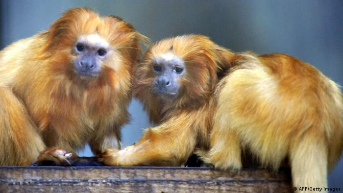 Golden Lion Tamarin Affe