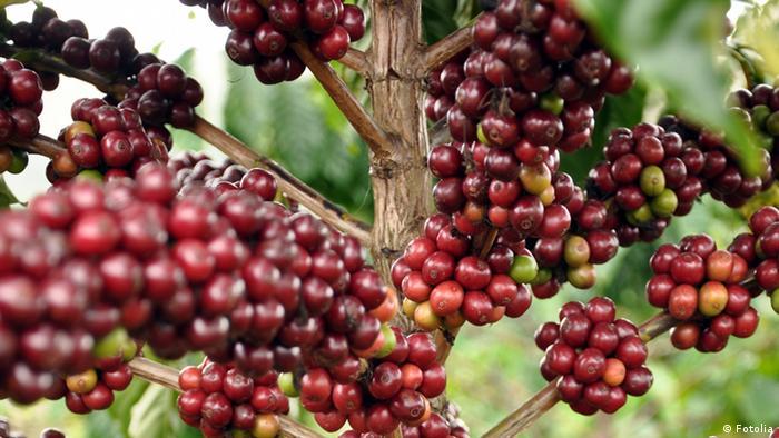 Kaffee/Kaffeepflanze