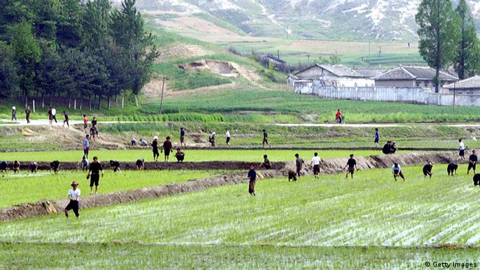 KAESONG, DEMOCRATIC PEOPLE'S REPUBLIC OF: REPUBLIC OF KOREA OUT North Korean farmers work at their rice fields as two Koreas delegations meet for their second day meeting in the North's border town of Kaesong, 17 May 2005. South Korea vowed to step up pressure to bring North Korea back to six-way nuclear negotiations as both sides began a second and final day of vice-ministerial talks. AFP PHOTO/POOL (Photo credit should read AFP/AFP/Getty Images)
