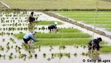 Nordkorea Landwirtschaft Getreide Reisfeld