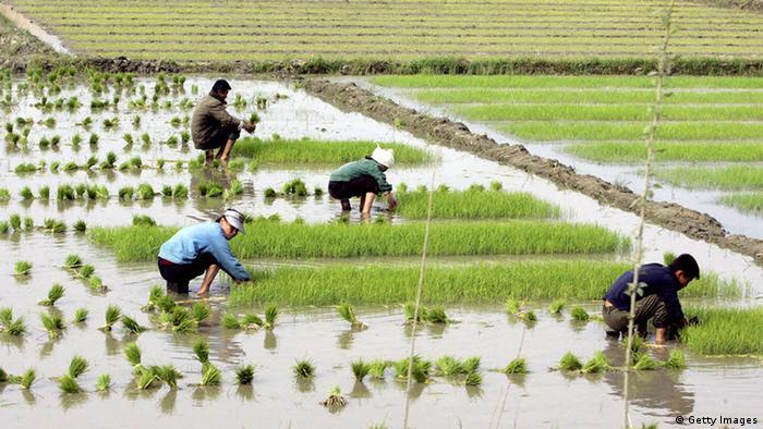 Rice field, North Korea