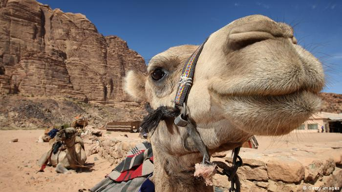 Camels sit waiting to be ridden by tourists in Wadi Rum (Photo by Chris Jackson/Getty Images)