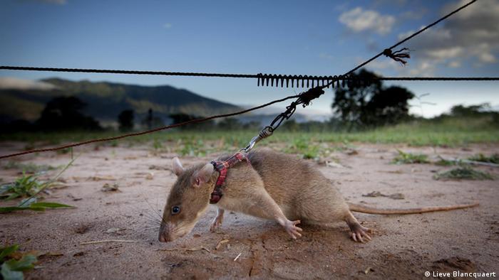 Ratos heróis salvam vidas