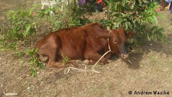 Brown cow lying in grass Copyright: Andrew Wasike,