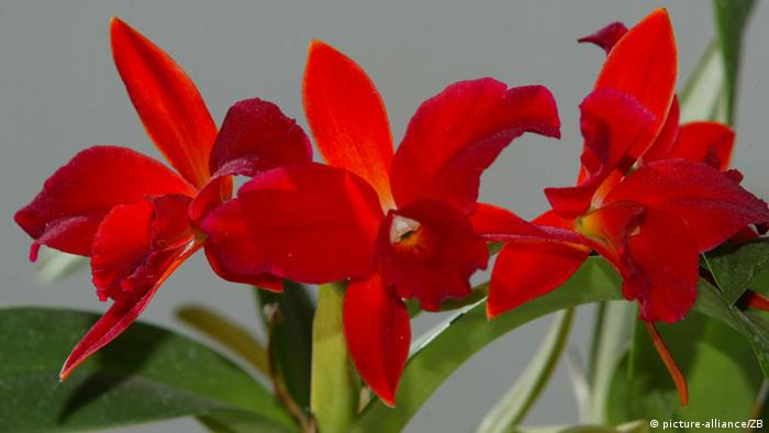 Rote Orchidee Cattleya