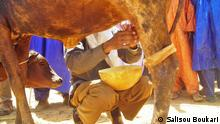 Titel: Niger/Tahoua/Milchprodukte/Nomaden/Kamelen/Vieh/Ziege/Züchten/Melken Schlagworte: Tahoua, Niger, Milchprodukte, Vieh, Kamelen, Ziege, Nomaden Wer hat das Bild gemacht?: Salisou Boukari (DW Korrespondent) Wann wurde das Bild gemacht?: 30.03.2013 Wo wurde das Bild aufgenommen?: Tahoua / Niger Bild 4: Eine Milchkuh beim melken, Tahoua, Niger