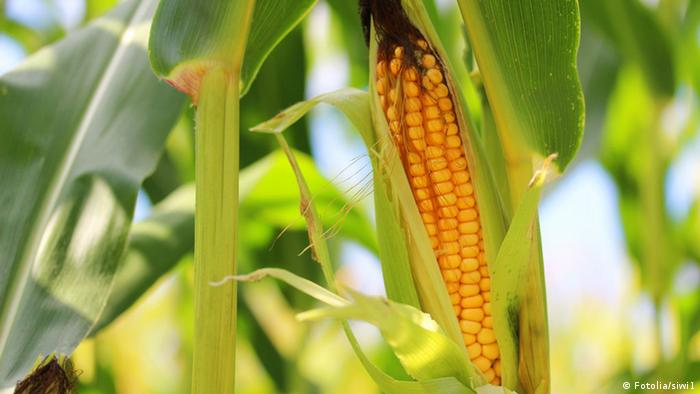 Corncob on the stalk © siwi1