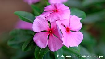 The bloom of a Madagascar periwinkle (c) picture alliance / ARCO Images