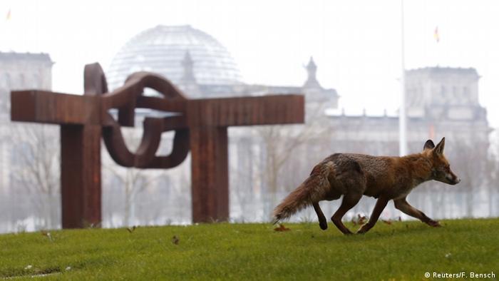 Berlin Fuchs vor dem Reichstag