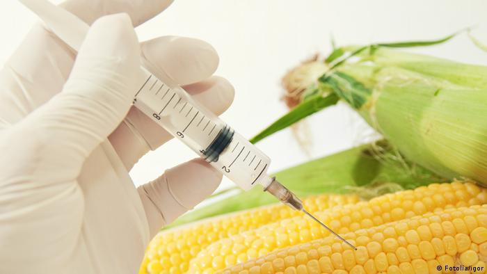 Sweet corn in genetic engineering laboratory, gmo food concept. #43899083 - Sweet corn, genetic engineering © igor