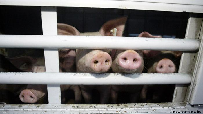 Pigs wait in a pen, sticking their snouts through the bars