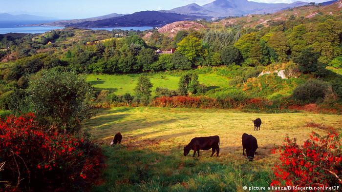Cows grazing in Ireland