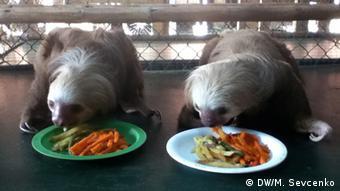 Two-toed Choloepus sloths (photo: M. Sevcenko)