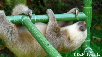 Baby sloth on jungle gym, Aviarios Sloth Sanctuary (photo: M. Sevcenko)