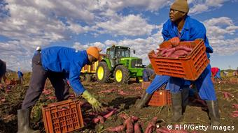 Employees dig up sweet potatoes on a farm near Pretoria, South Africa (Photo: FRANCOIS XAVIER MARIT/AFP/Getty Images)
