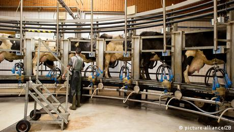 Dairy cows stand in rotary milking apparatus