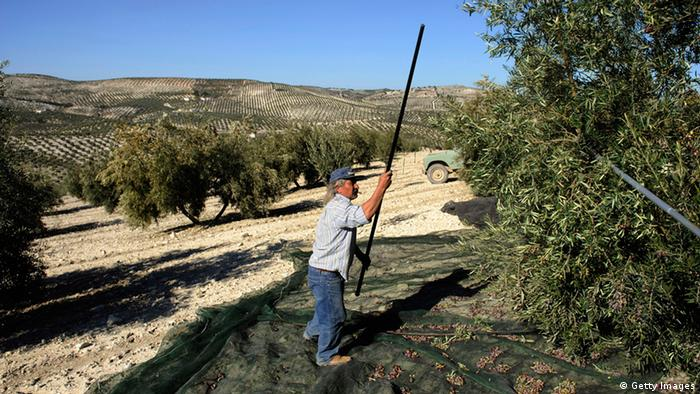 A Spanish farmer uses a long stick to knock olives out of a tree