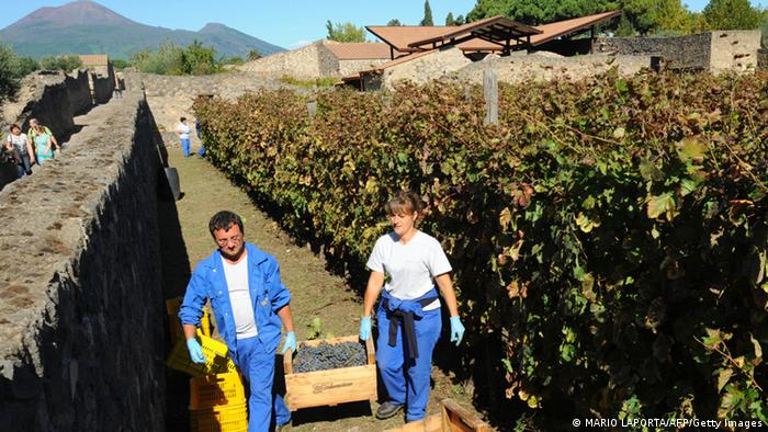 Two workers carry a large basket of grapes from a vineyard