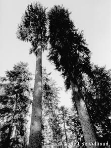 Spruce trees in the Risoud forest which are used for tonewood to make musical instruments. (Photo: Anne-Lise Vullioud, März 3013)