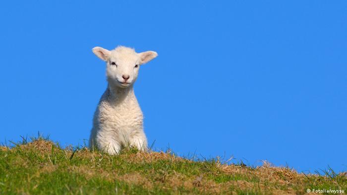 Lamm in Nordfriesland