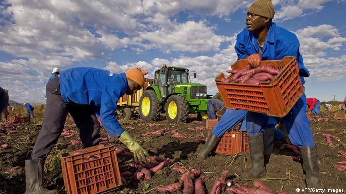 Workers dig up sweet potatoes on a farm near Pretoria, South Africa