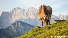 Photo: Cow in a field (Source: Imago/Eibner)