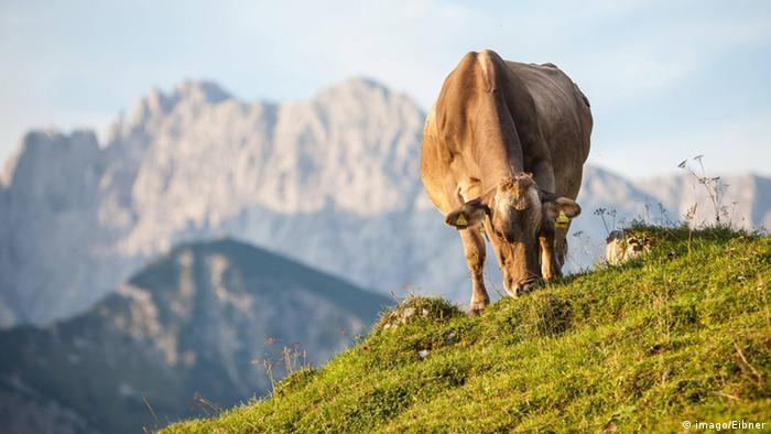 Kuh mit Markern in den Ohren grast auf einem Hügel, dahinter sind alpine Berge zu sehen (Foto: imago/Eibner).