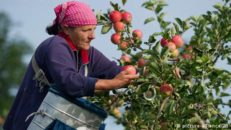Polish woman assisting in the German apple harvest