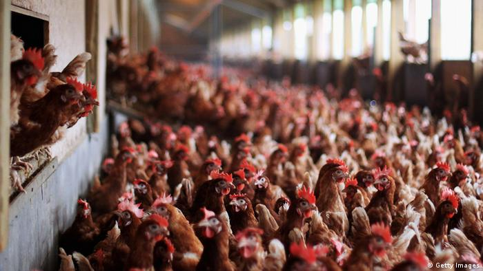 A massive factory farm hall with thousands of chickens