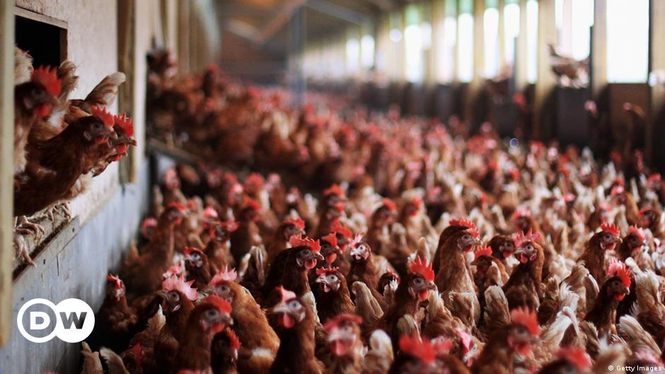 Cheap EU chicken presents grave human health risk: report