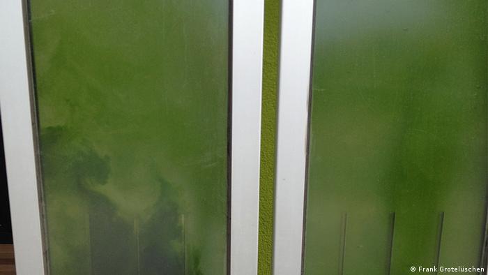 Die tiefgrünen Algen schießen in die mit Wasser gefüllte Glasfassade. Foto: Frank Grotelüschen