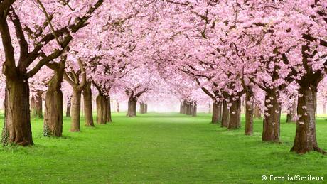 Blühende Kirschbäume auf einer grünen Wiese