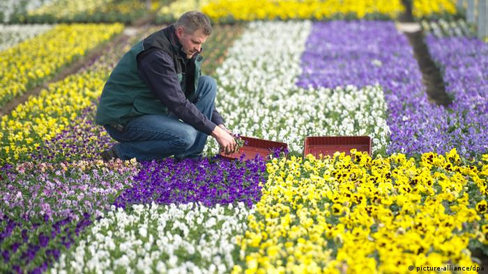 A man works in a field of pansies