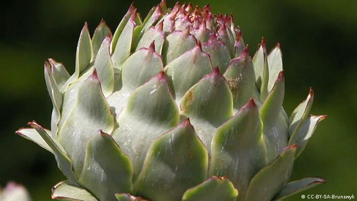Heilpflanzen Artischocke (CC-BY-SA-Brunswyk)